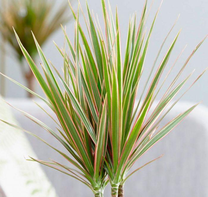 Драцена маргината (Dracaena marginata)