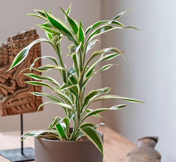 Драцена Сандера (Dracaena sanderiana)