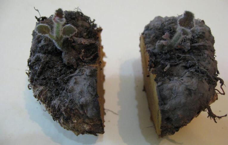 Глоксиния деление клубня