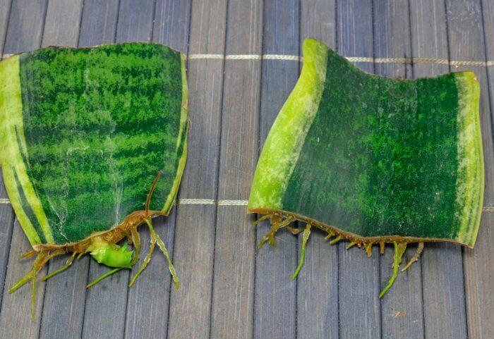Сансевиерия листовые черенки