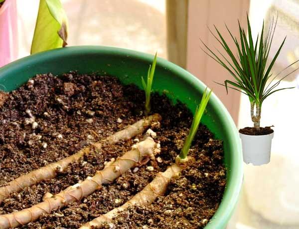 Размножение драцены отрезками стебля